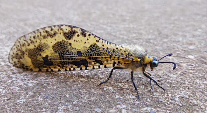 Antlion. Photo: Ashley Crookes