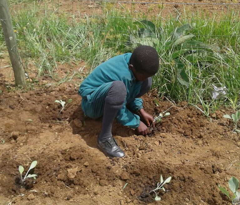 A school learner planting cabbages