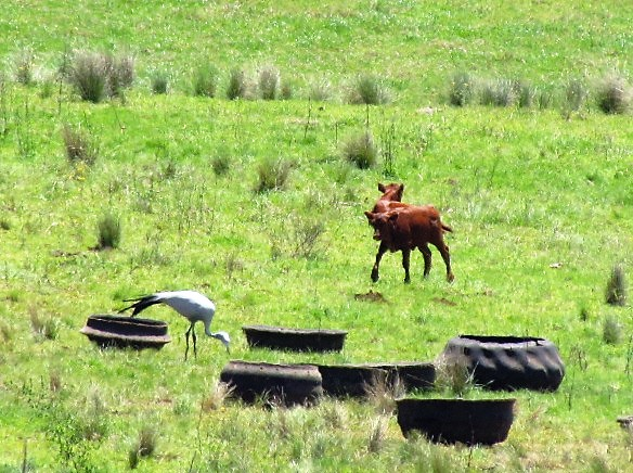 A calf about to chase the blue crane eating round  the cattle tyres