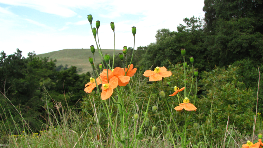 Poppies in grassland